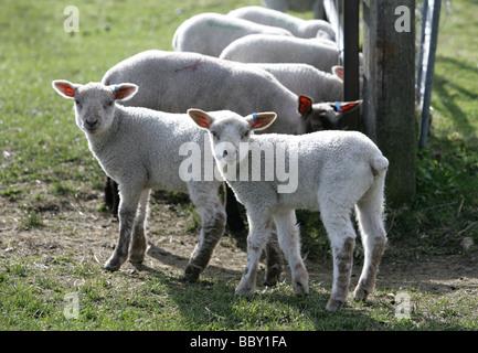 Les Jeunes agneaux dans un champ agricole portrait dans le Berkshire Banque D'Images