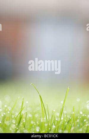 Pluie ou rosée sur les brins d'herbe