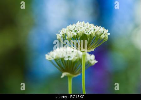 L'allium nigrum. Oignon ornemental / noir fleurs d'ail Banque D'Images