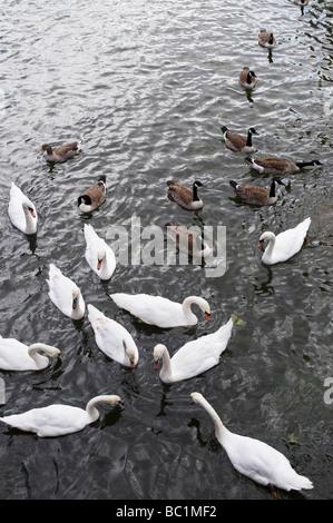 Les cygnes et les bernaches du Canada sur la rivière Avon, Stratford upon Avon, Warwickshire, Angleterre Banque D'Images
