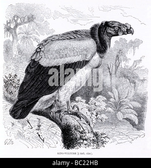 roi des vautours Banque D'Images