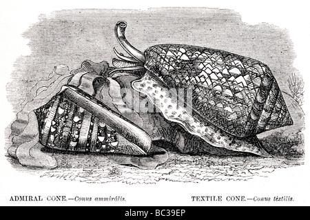 Cône conus ammiralis amiral cône conus textile textlis Banque D'Images