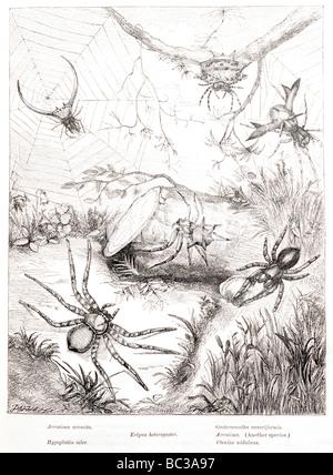 Gasteracantha cancriformis acrosoma arcuata eripus hypoplatea heterogaster celer cteniza nidulans Banque D'Images