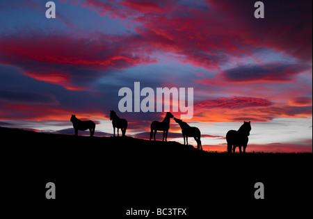 Silhouette de chevaux Islandais au coucher du soleil, de l'Islande