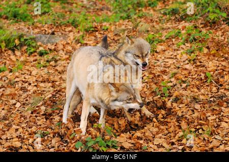 Deux loups gris (Canis lupus) combats en forêt, parc national de la forêt bavaroise, Bavière, Allemagne Banque D'Images