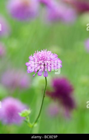 Knautia Macedonica 'Melton Pastels' . Scabious macédonien 'Melton pastels' fleurs dans un jardin border Banque D'Images