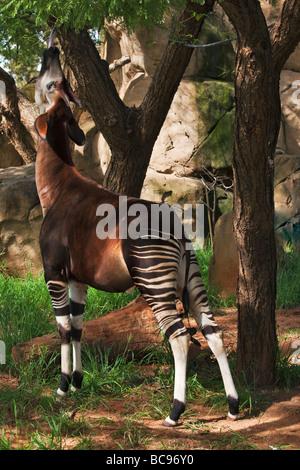 Okapi mammifère Herbivorious avec marques inhabituelles Les espèces phares de la forêt de l'Ituri en République Banque D'Images
