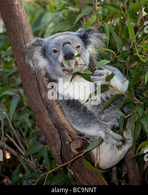 Koala extatique dans l'arbre Banque D'Images