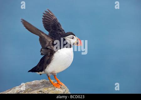 Macareux moine (Fratercula arctica) Îles Shiant. Hébrides extérieures. L'Ecosse Banque D'Images