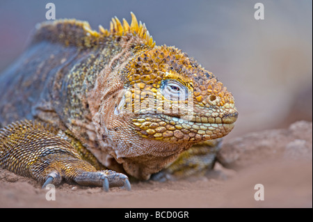 Iguane terrestre des Galapagos (Conolophus subcristatus) Urbina Bay. L'île Isabela. Îles Galápagos