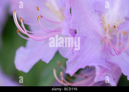 Couleurs douces et éthérées de fleurs d'azalées élégante fine art photography Photographie Jane Ann Butler JABP491 Banque D'Images