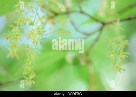 Acer carpinifolium les grappes de fleurs tombantes dainty originaire du Japon fine art photography Photographie Jane Ann Butler JABP451