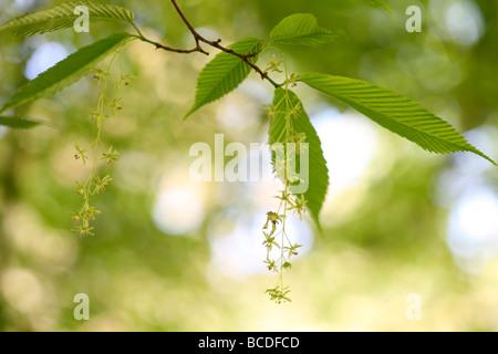 Acer carpinifolium les grappes de fleurs tombantes dainty originaire du Japon fine art photography Photographie Jane Ann Butler JABP452