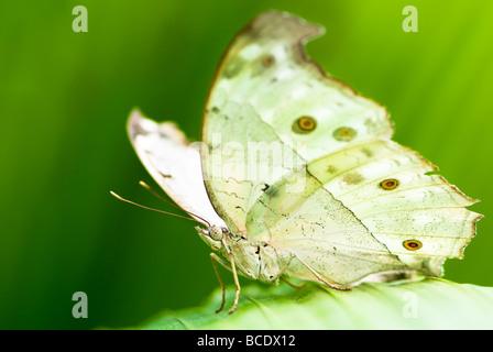 Papillon de lune indien lat actias selene avec fond vert Banque D'Images
