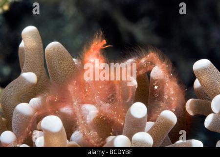Ce crabe orang-outang orange poilu vit dans une assiette à son domicile de corail sur un récif à Horse Shoe Bay, Banque D'Images
