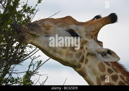 Girafe (Giraffa camelopardalis) manger de l'arbre. Tête portrait Parc National Kruger en Afrique du Sud Banque D'Images