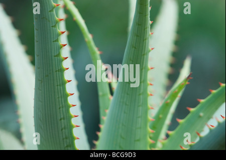 Aloe glauca 'blue aloe plant abstract Banque D'Images