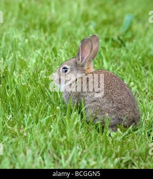 Jeune lapin européen Oryctolagus cuniculus se nourrissant d'herbe de printemps Banque D'Images