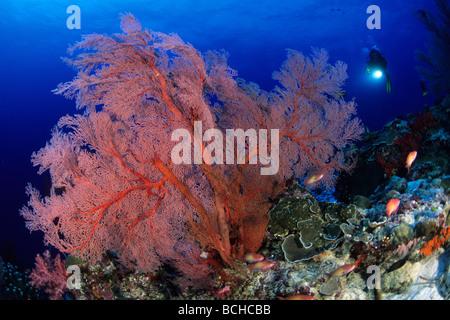 Gorgones rouges et ventilateur Scuba Diver Melithaea spec Similan La mer d'Andaman en Thaïlande Banque D'Images