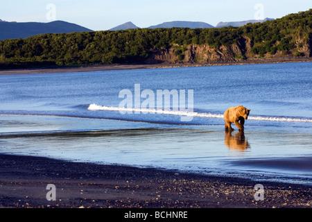 Ours brun promenades le long du littoral dans la région de Kaguyak Katmai National Park, Alaska Banque D'Images