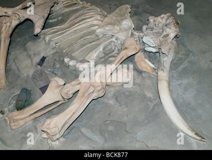 Channel Islands ou pygmée (mammouth Mammuthus exilis) de combustibles fossiles de mammifères du Pléistocène éteintes, Channel Islands, en Californie