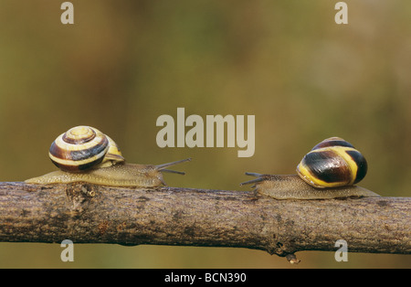Deux lèvres marron / Direction générale des escargots sur Cepaea nemoralis