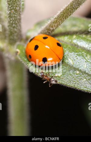 Coccinella septempunctata, les sept-spot ladybird, l'attaque d'une Fourmi Lasius Jardin Noir (Niger) Banque D'Images