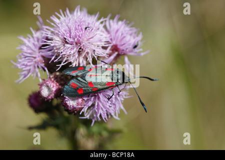 Zygaena filipendulae spot Six Burnett sur thistle flower