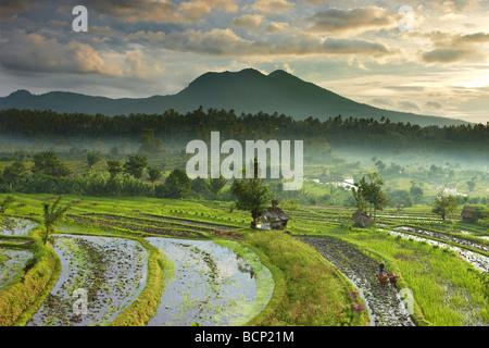 Ox conduit à la charrue les rizières en terrasses nr Tirtagangga à l'aube avec le pic volcanique de Lempuyang Gunung, Bali, Indonésie Banque D'Images