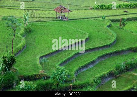 Les rizières en terrasses, près de Tirtagangga, Bali, Indonésie Banque D'Images