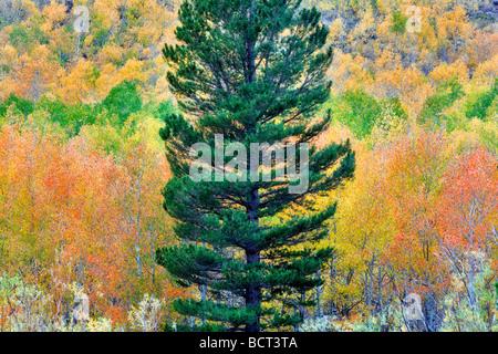 Forêt mixte de trembles en couleurs d'automne et des sapins Inyo National Forest en Californie Banque D'Images