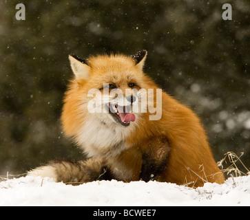 Le renard roux (Vulpes vulpes) assis dans un champ couvert de neige Banque D'Images