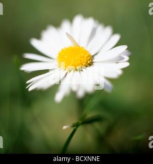 Lovely English daisy fine art photography Photographie Jane Ann Butler JABP319