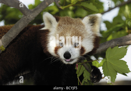 Lesser panda , panda rouge sur la branche / Ailurus fulgens Banque D'Images
