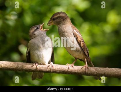 Young House Sparrow Passer domesticus être nourris par le parent comme un oiseau sur une branche. Banque D'Images