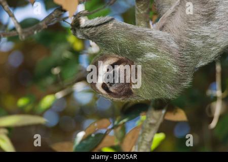 Trois doigts à gorge brun paresseux Bradypus variegatus homme Manuel Antonio National Park Côte Pacifique centrale Banque D'Images