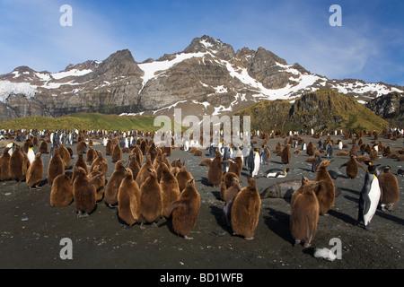 Le manchot royal Aptenodytes patagonicus sur la plage de Gold Harbour Antarctique Géorgie du Sud