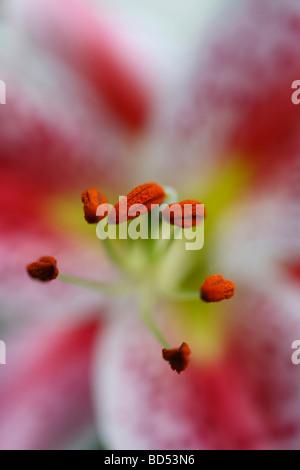 Japonais fleur rose Lilium Lilium speciosum lily lily white perfection aucune personne n'a pas personnes avec arrière Banque D'Images