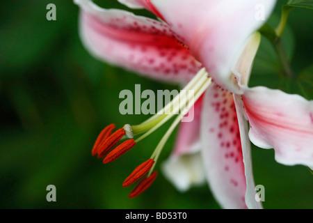 Lily Lilium Lilium japonais fleurs lys speciosum perfection blanc aucune personne n'a pas de personnes isolées close Banque D'Images