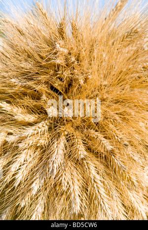 Tas de blé comme arrière-plan Banque D'Images