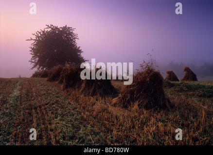 Pologne Pays ferme biologique brouillard brouillard Banque D'Images