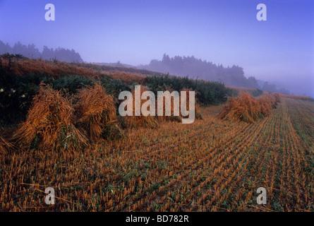 La récolte de l'unité de ferme biologique paille Pays Pologne Banque D'Images