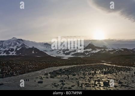 Manchot royal Aptenodytes patagonicus colonie St Andrews Bay Géorgie du Sud Antarctique