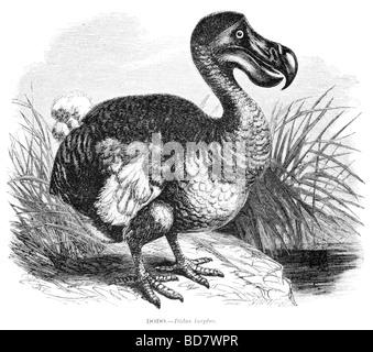 Didus ineptus dodo