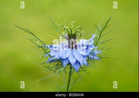 Nigella damascena. L'amour dans une brume fleur