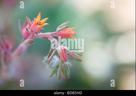 Echeveria 'curly locks' Fleur Banque D'Images