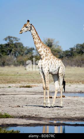 L'Afrique du Sud, giraffe Giraffa camelopardalis giraffa, debout à côté d'un étang;Savuti Savute/salon de Chobe NP, Botswana