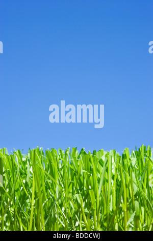L'herbe coupée, low angle contre ciel bleu clair