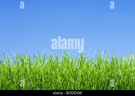 L'herbe, low angle contre le ciel bleu