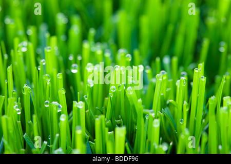 Les gouttelettes d'eau sur l'herbe